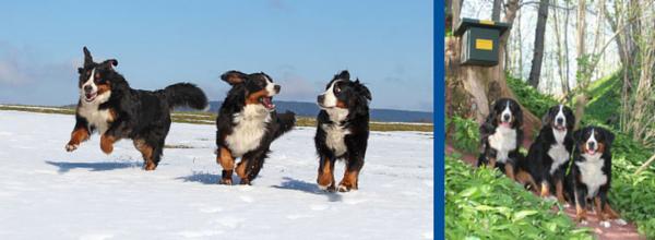 Berner Sennen Hunde auf Stempeljagd ©Brigitte Lind