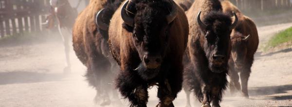 Die Bison Herde auf der Main Street ©Westernstadt Pullman City Harz