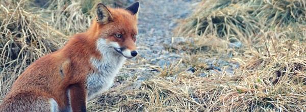 Der Rotfuchs im Harz ©Alina Lipka